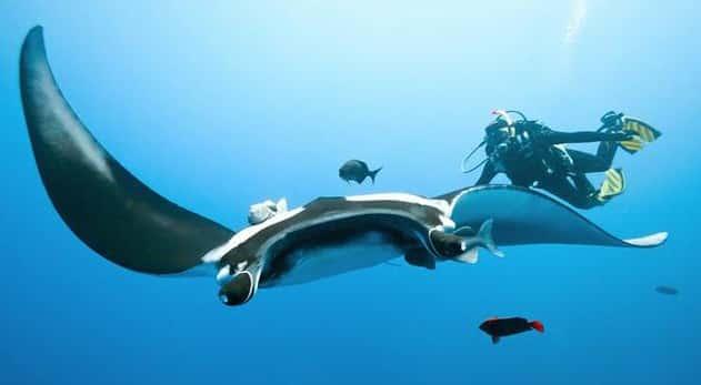 Elus-Ikan-Pari-Manta-di-Manta-Point-Labuan-Bajo